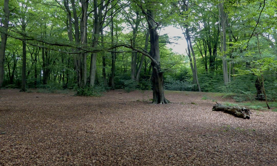 The interior of Loughton Camp, one of two Iron Age enclosures in Epping Forest.