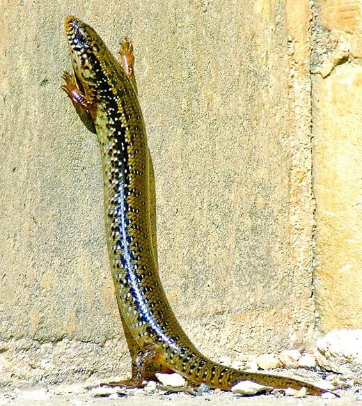 An ocellated skink, a common type of lizard in the Mediterranean.