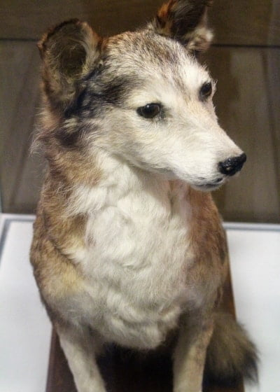 Jack, Edith Cavells dog, stuffed and in a museum case.