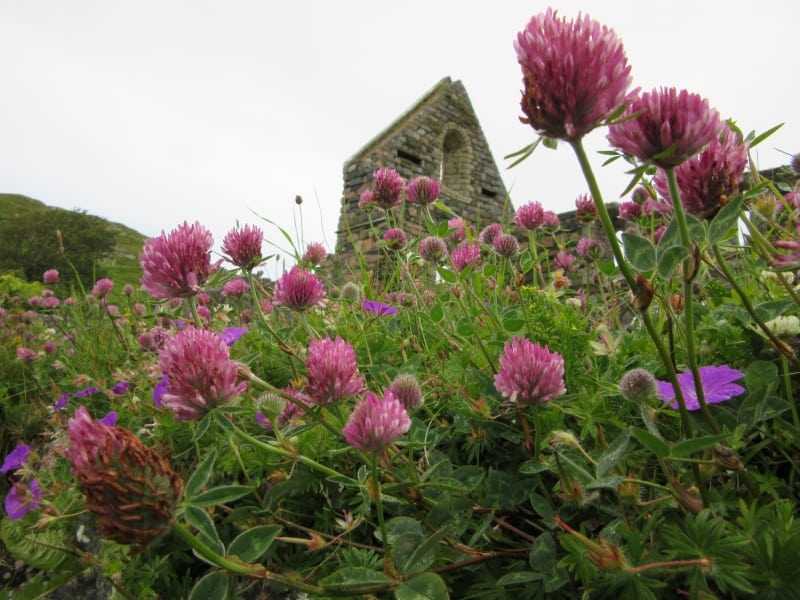 Iona Abbey behind purple flowers.